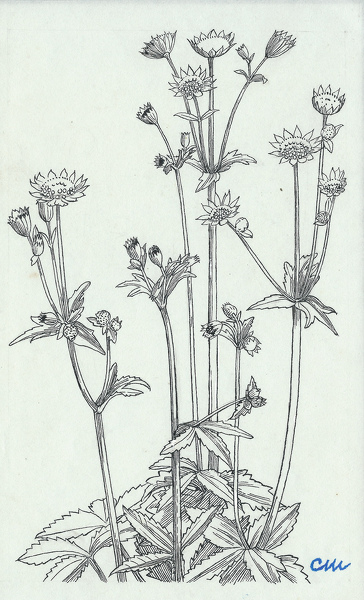 Artist Evelyn Dunbar and Charles Mahoney: Astrantia major, design for page 33, Gardeners Choice 1937