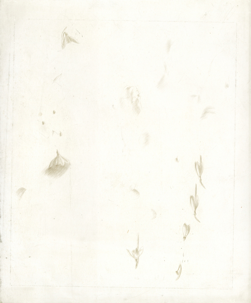 Artist Winifred Knights: Sheet of studies of snowdrops