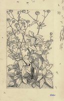 Artist Evelyn Dunbar and Charles Mahoney: Ranunculus aconitifolius fl. pl. , design for page 153, Gardeners Choice 1937