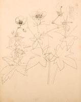 Studies of Geranium armenum