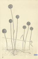 Artist Evelyn Dunbar and Charles Mahoney: Allium, Design for Gardeners Choice, 1937