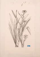 Artist Evelyn Dunbar and Charles Mahoney: Sketch for Iris japonica (Ledger's Variety) for Gardener's Choice