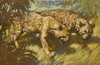 Two Leopards Courting - circa 1950